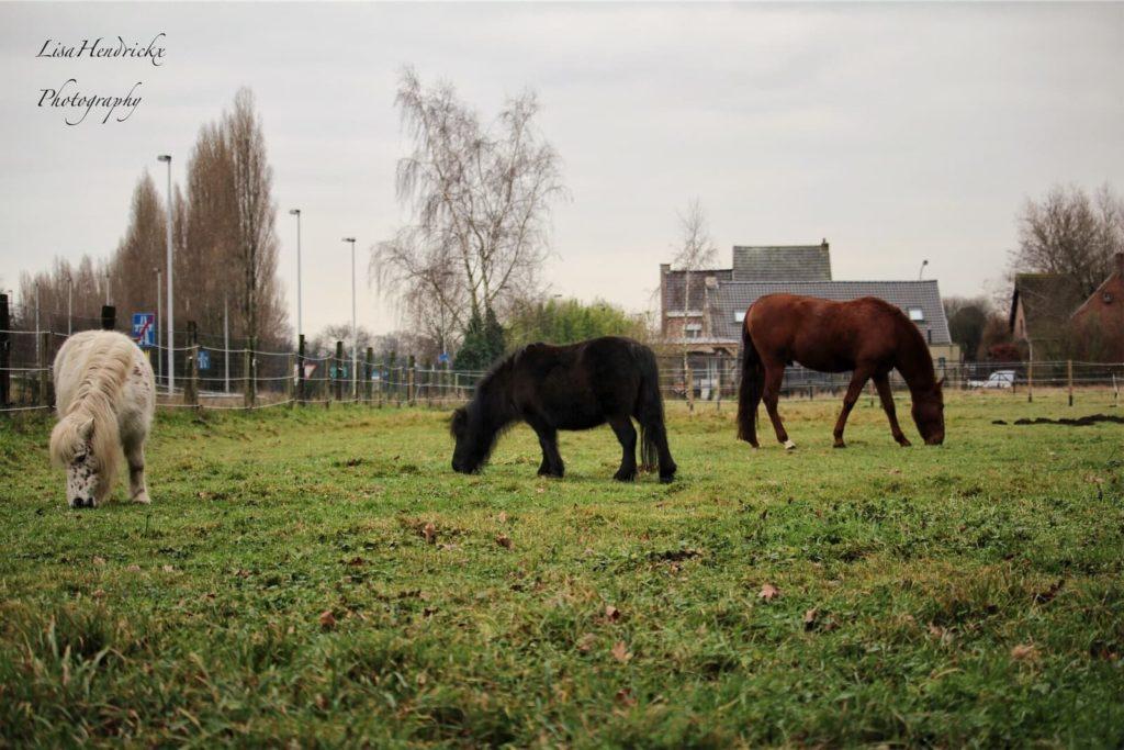 eigen paarden loes lilly & beleno